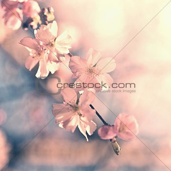 Beautiful blossom tree. Nature scene with sun in Sunny day. Spring flowers. Abstract blurred background in Springtime.