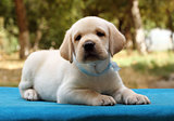 the little cute labrador puppy on the blue background