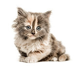 European Shorthair kitten, 1 month old, isolated on white
