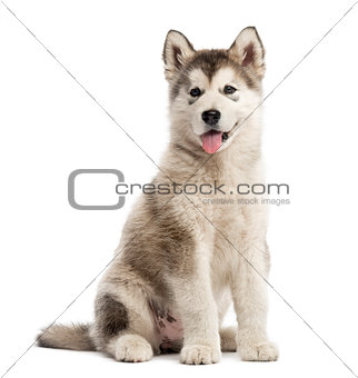 Alaskan Malamute puppy sticking the tongue out isolated on white