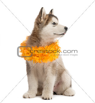 Alaskan Malamute puppy sitting and wearing a yellow collar