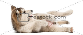Alaskan Malamute puppy lying on the side isolated on white