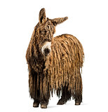 Poitou donkey with a rasta coat isolated on white