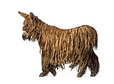 Side view of a walking Poitou donkey