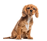 Cavalier King Charles Spaniel puppy, isolated on white