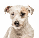 Close-up of Jack Russell Terrier, isolated on white