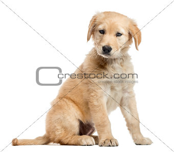 Cross-breed Labrador puppy, 2 months old, isolated on white