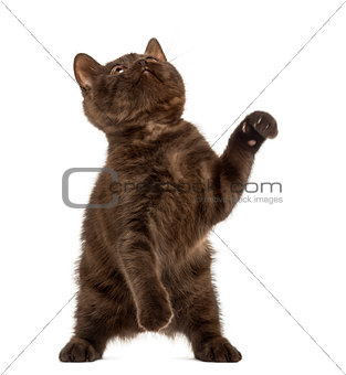 British Shorthair kitten on hind legs isolated on white