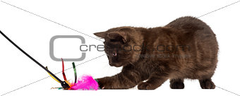 British Shorthair kitten with a stick toy isolated on white
