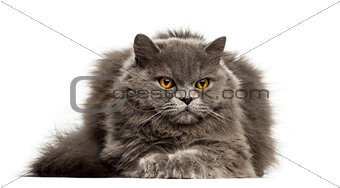 British Longhair lying down isolated on white