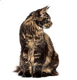 Maine Coon sitting and looking away isolated on white