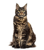 Maine Coon sitting and looking up isolated on white