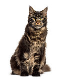 Maine Coon sitting isolated on white