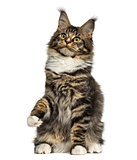 Maine Coon cat on hind legs isolated on white