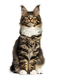 Front view of a Maine Coon sitting isolated on white