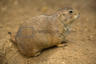 Prairie Dog portrait