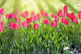 Pink tulips and sunshine.