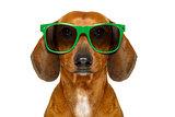 dumb nerd silly dachshund