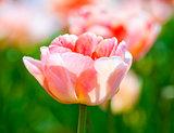 Closeup of Tulip Flower at Blossom