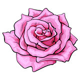 Deep pink rose, top view isolated sketch vector illustration