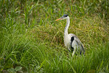 Cocoi heron standing in grass facing left