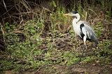 Cocoi heron walking past bushes in forest