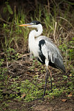 Cocoi heron walks past bushes in forest