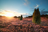 sunset over flowering heather and juniper trees