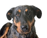 beauceron dog in studio