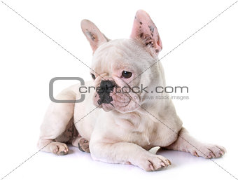 french bulldog in studio