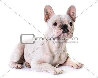 french bulldog in studio
