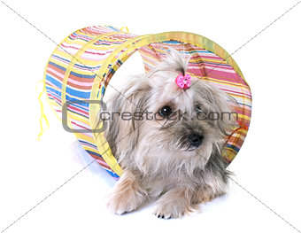 crossbred yorkshire terrier