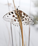 The Parnassius apollo. White butterfly with red spots sitting on blade grass