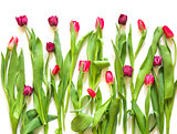 many red rose purple tulips on white background