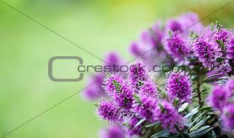 beautiful veronica flowers