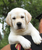 a little cute labrador puppy on a shoulder