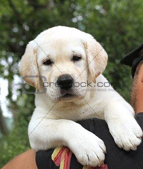 a little cute labrador puppy on a shoulder
