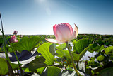 Beautiful landscape of blossoming lotuses