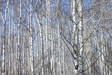 Trunks of birch trees against blue sky