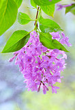 Spring lilac violet flowers