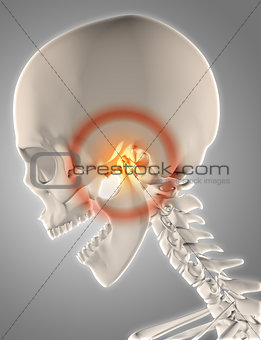 3D skeleton with jawbone highlighted