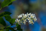 Bird cherry flower
