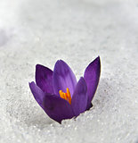 crocus in snow_