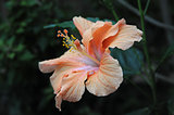 Pink and orange hibiscus flower