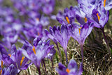 Violet crocuses blossom _