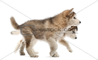 Alaskan Malamute puppies walking isolated on white