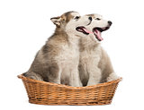 Alaskan Malamute puppies mouth open sitting in a basket