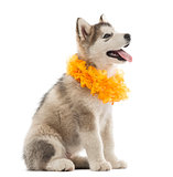 Alaskan Malamute puppy sitting and panting with a yellow collar