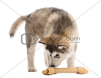 Alaskan Malamute puppy smelling a bone isolated on white