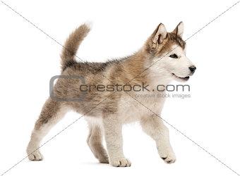 Alaskan Malamute puppy walking isolated on white